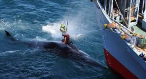 Sea Shepherd try to save whales