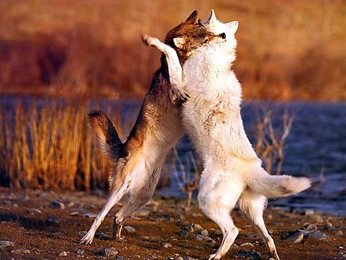 Two_wolves_fighting