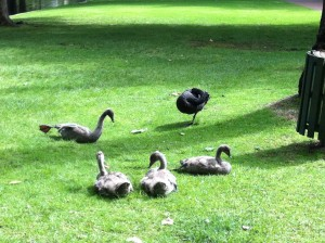 A Black Swan family at Hyde Park